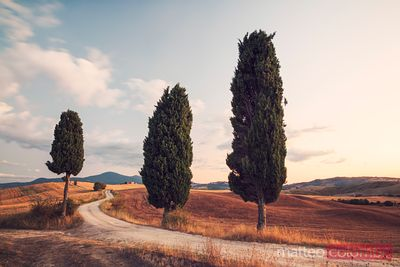 Cypress lined road in Tuscany, Italy