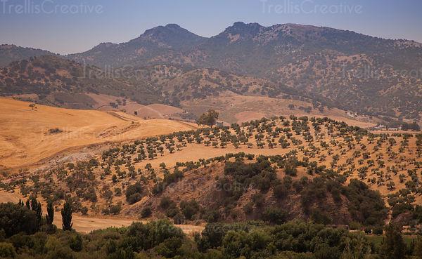 Olive tree farming on the hills at Zahara de la Sierra, Spain