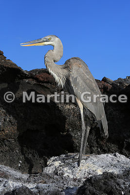 Great Blue Heron (Ardea herodias), Sombrero Chino, Galapagos Islands