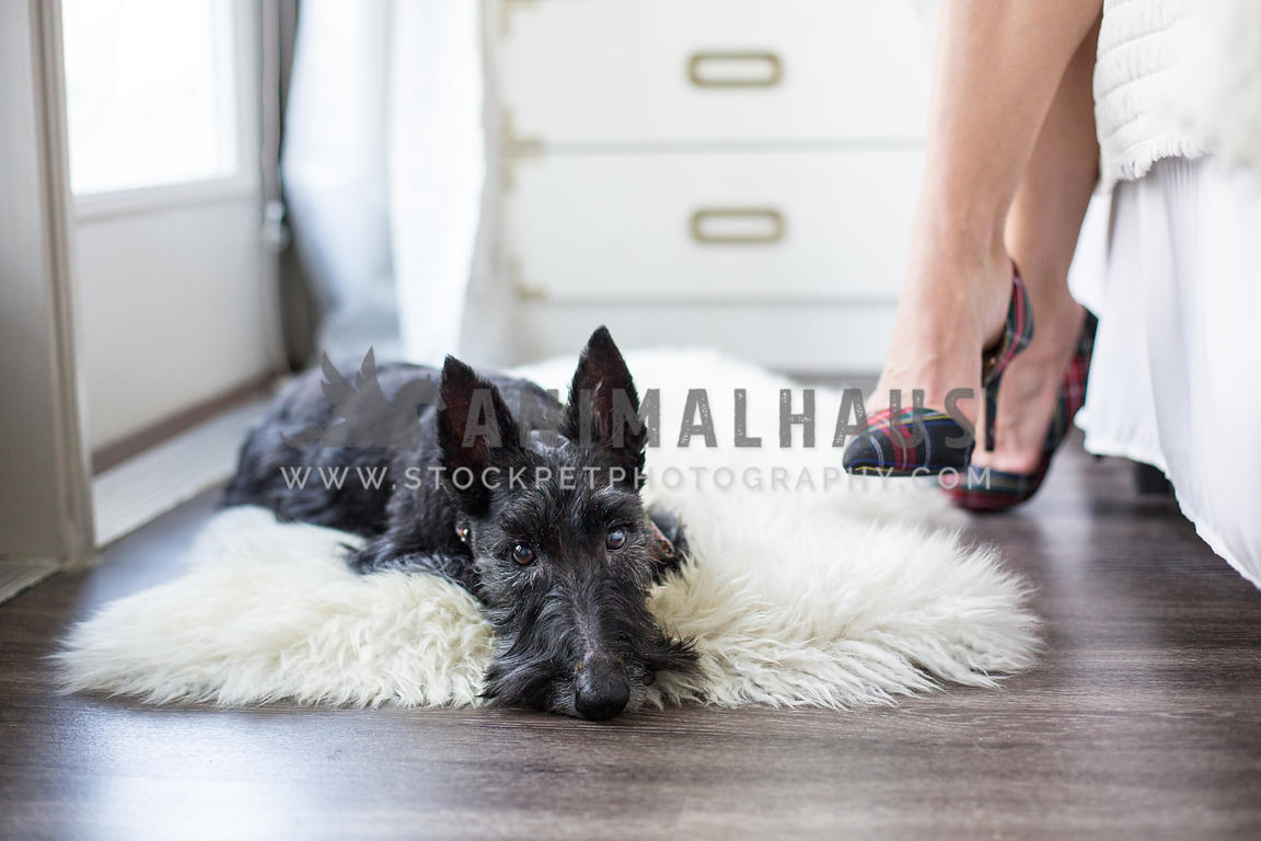 Scottish Terrier dog lays on fluffy rug at home with high fashion owner nearby
