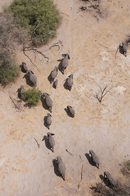 Aerial view of African elephants (Loxodonta africana) migrating through woodland in their search for food and water during a ...