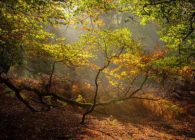 Autumn_sun_with_Beeches_and_mist