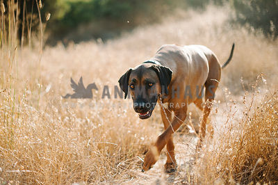 rhodesian ridgeback with dark face walking in golden field looking at camera
