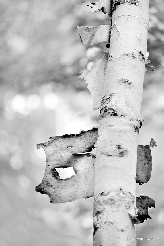 WHITE PAPER BIRCH TREE IN THE WOODS JESUP PATH ACADIA NATIONAL PARK MAINE BLACK AND WHITE