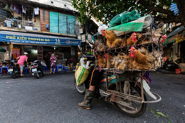 Chickens in Cages on the Back of a Motor Cycles