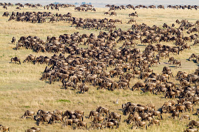 Wildebeest (Connochaetes taurinus) migrating herd, Masai-Mara Game Reserve, Kenya