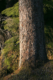 Old growth tree (sp.) in the Chugach National Forest, Alaska