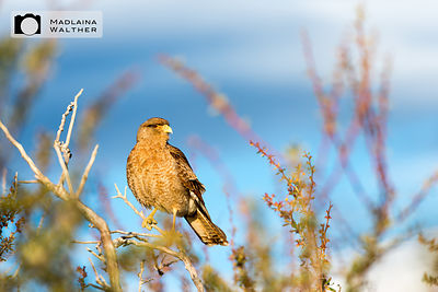 Small predatory bird in El Calafate. Argentina.