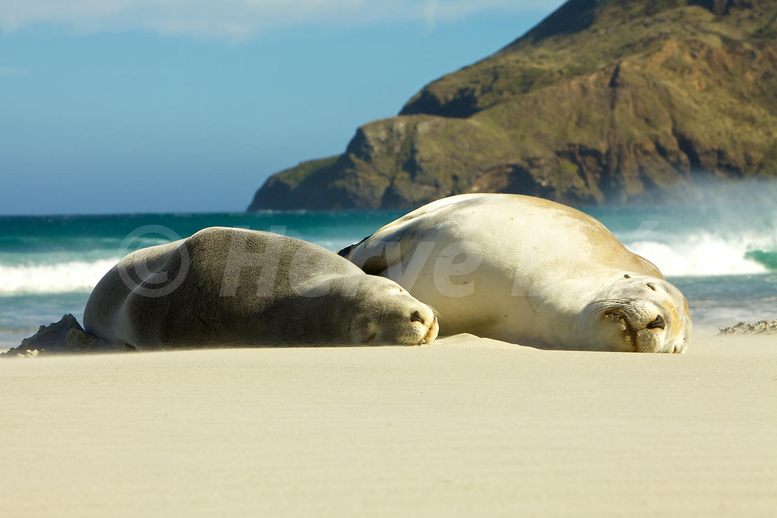 Sea Lions in New-Zealand