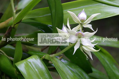 Encyclia fragrans (orchidée)