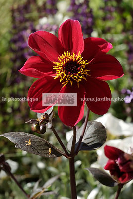 Dahlia nain 'Preston Park', bulbe d'été, Paysagiste : Peter Reader, Hampton Court, Angleterre