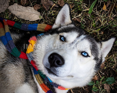 Husky in Scarf Lying on Ground