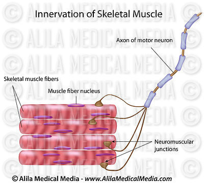 Innervation du muscle squelettique