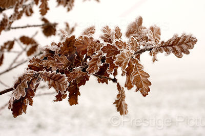 Brown Oak Leaves Edged with Frost