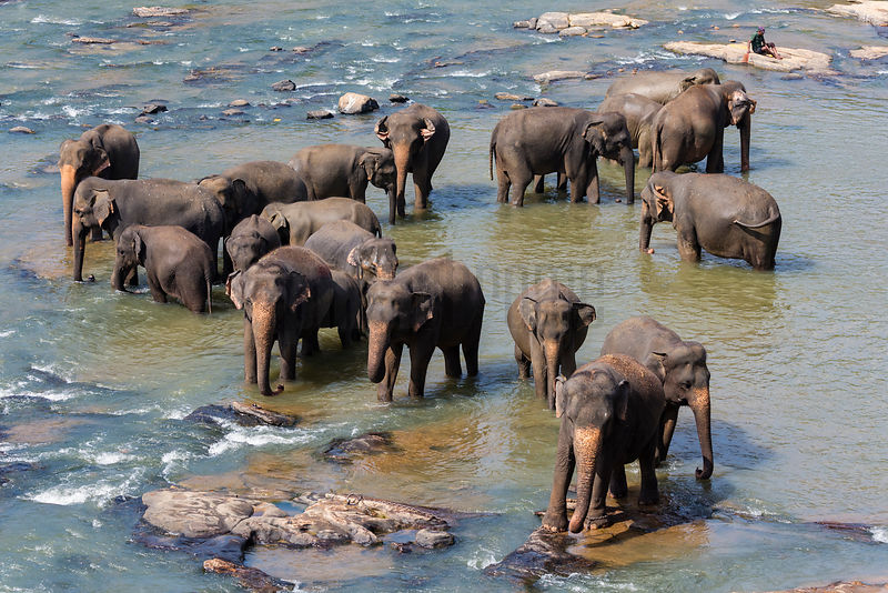 Elephants Bathing in the Maha Oya River