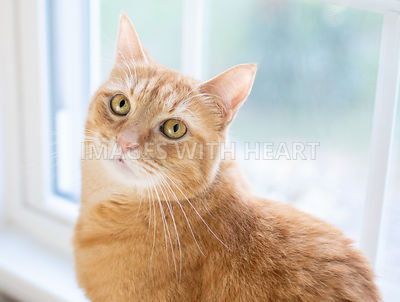 Beautiful orange cat window eyes close up
