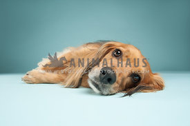 small red dachshund mix laying on a blue background looking at the camera