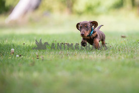 Dachshund puppy running in grass