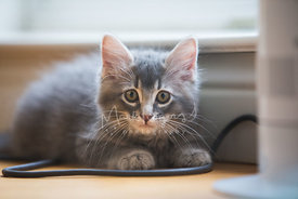 Worried Looking Grey Kitten Lying on Floor Near Electrical Cord