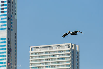 Pelican flying over skyscrapers in Cartagena, Colombia, South America