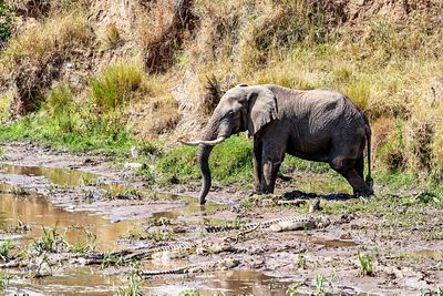 Elephant on River Bank With Crocodiles