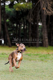 Pit bull type dog running in forest with stick in mouth