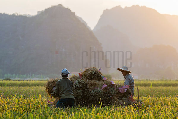 Rice Workers Bringing in the Rice Harvest.