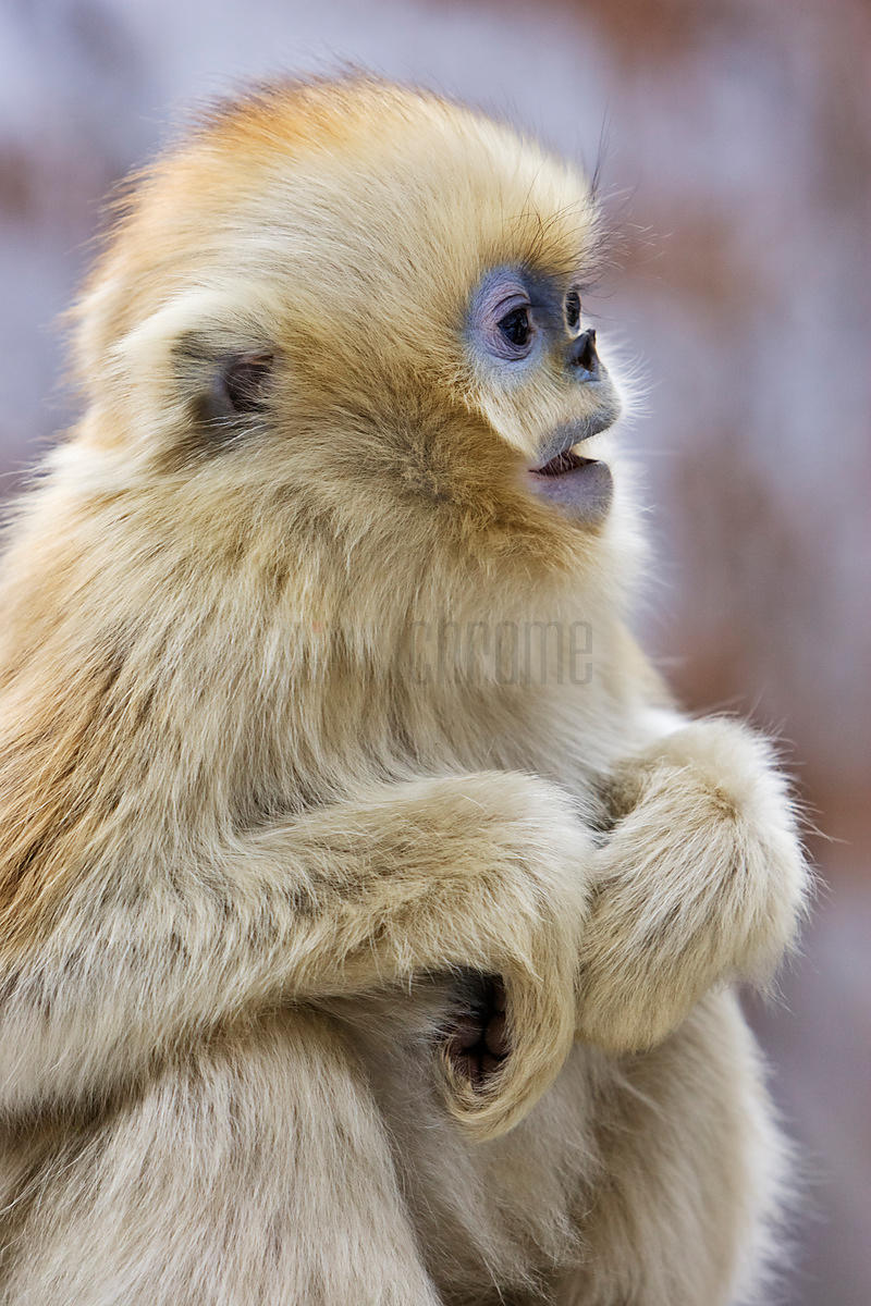 Young Golden Monkey