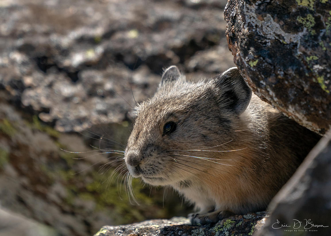 Pika - Rocky Mountain National Park