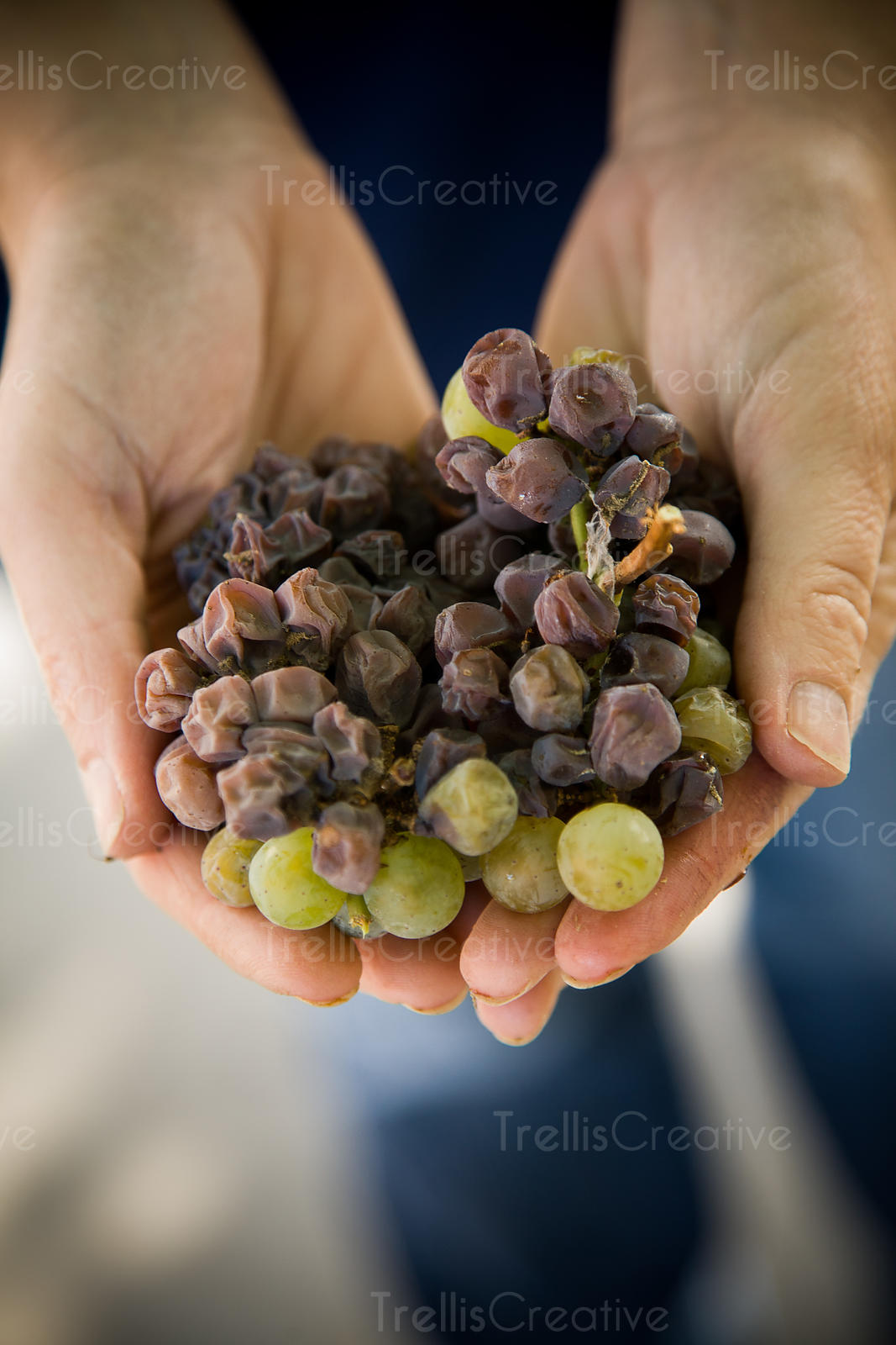 A woman holds a cluster of chardonnay grape cluster with botritis in her hands