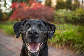 Goofy black lab mixed breed dog smiles in the garden