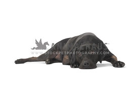 Black dog lying with head down on white background