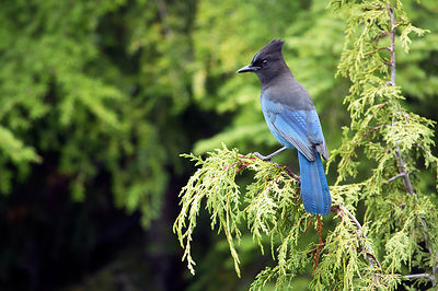 March - Steller's Jay