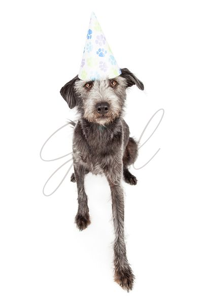 Terrier Dog Wearing Pawprint Party Hat