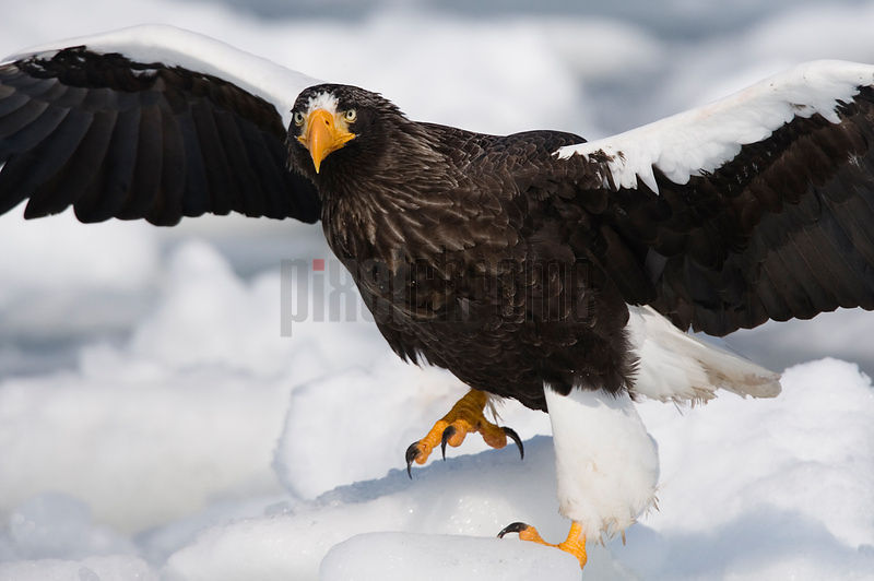 Steller's Eagle on ice floe, Nemuro Channel, Hokkaido, Japan