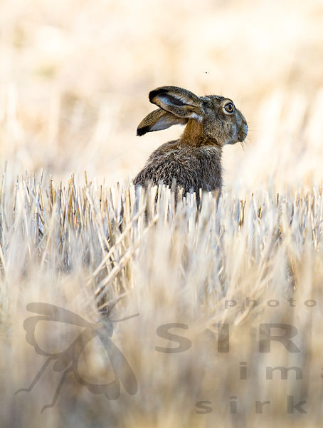 The European hare