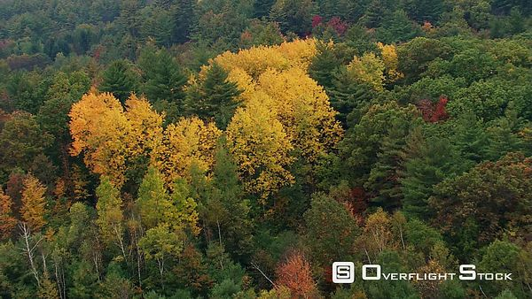 Flying over brilliant yellow treetops