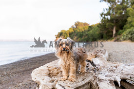 Yorkie at the seashore