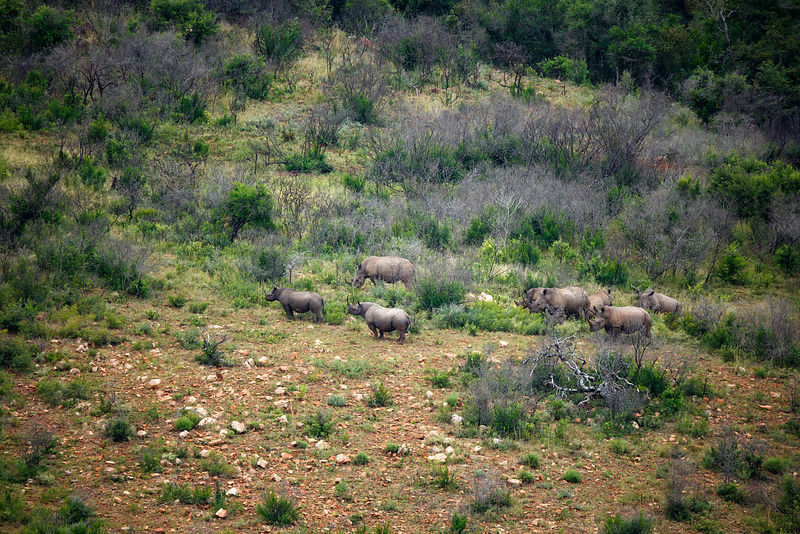 Black rhino (Diceros bicornis) two on the left, and White rhino (Cerathotherium simum)  six on the right, Itala Game Reserve,...