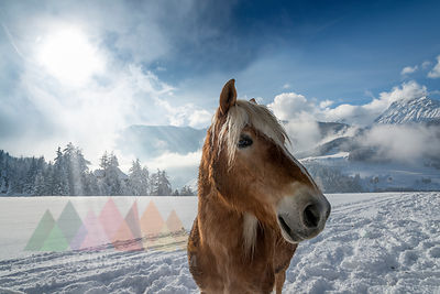 Austria, Tyrol, Wipptal, horse in snow