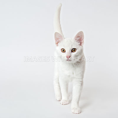White cat looking at camera