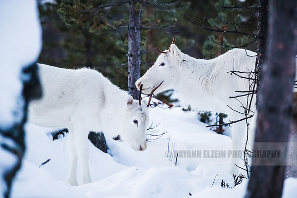 Two white reindeer close together in Inari, Finnish Lapland