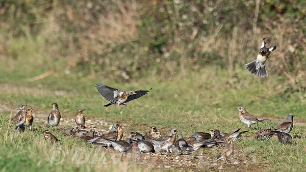 Fieldfare Turdus pilaris and Redwing Turdus iliacus newly arrived migrants from continent drinking and bathing in puddles on ...
