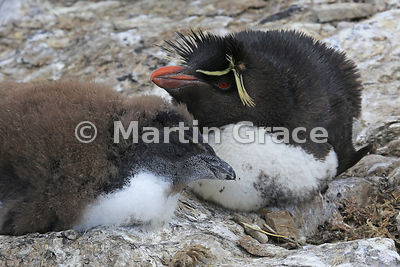 Young Southern Rockhopper Penguin (Eudyptes chrysocome chrysocome) on the nest, with one of its parents, Sea Lion Island, Fal...