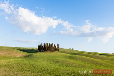 Cypress grove in green meadow, Tuscany, Italy