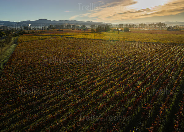 Beauty of the Fall captured over the multicolored hues of leaves changing colors in vineyards, aerial photo.