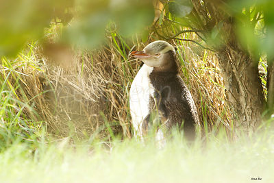 Yellow-Eyed Penguin New-Zealand