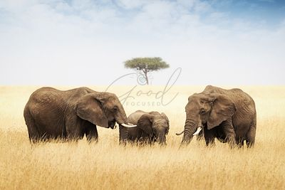 Three elephant in tall grass in Africa