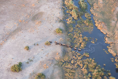 Aerial view of African elephants (Loxodonta africana) emerging from a river into a parched landscape during a drought, Northe...