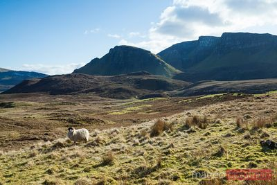 Sheep on grassland Highlands Scotland UK